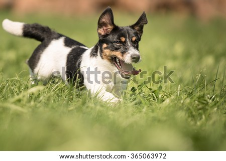 Jack Russell is running