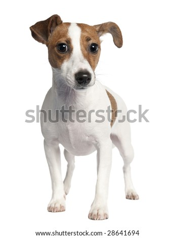 Jack russell (10 months old) in front of a white background - stock photo