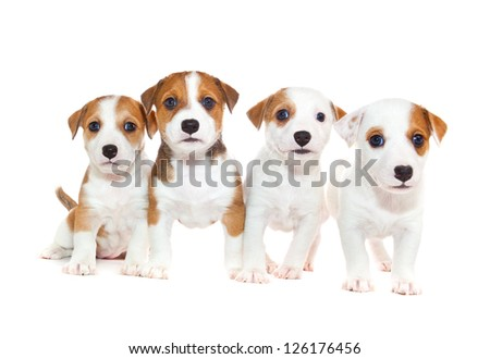 Jack Russell 2 months old, sitting in front of white background - stock photo