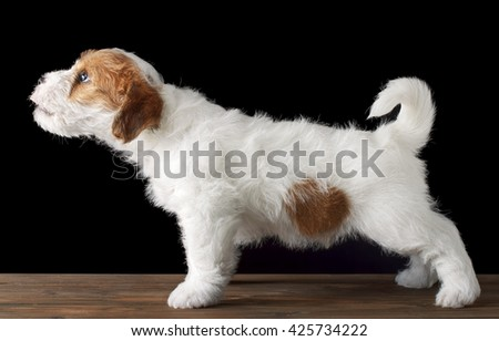 Jack russell puppy dog on black background - stock photo