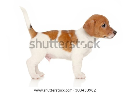 Jack Russell puppy in stand on a white background