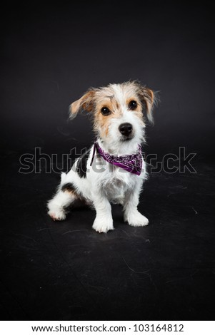 Jack russell puppy isolated on black background. Studio shot. - stock photo