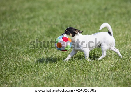 Jack Russell puppy playing with a ball