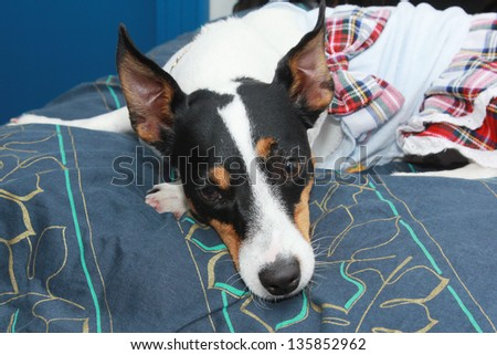jack russell puppy sleep on a pillow - stock photo