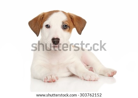 Jack Russell puppy. Studio portrait on a white background - stock photo