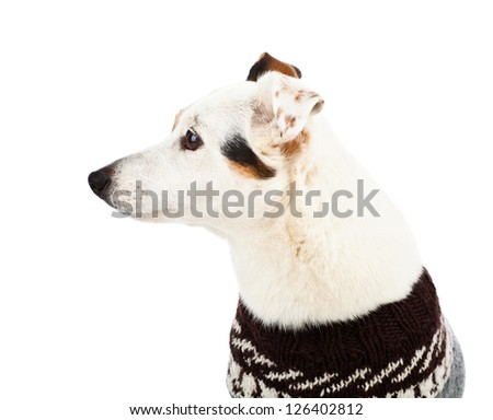 Jack russell sitting with sweater on white background - stock photo