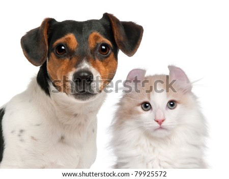 Jack Russell Terrier, 2 and a half years old and a American Curl kitten, 3 months old, in front of white background - stock photo