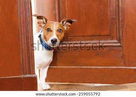 jack russell terrier dog at the door at home watching the house - stock photo