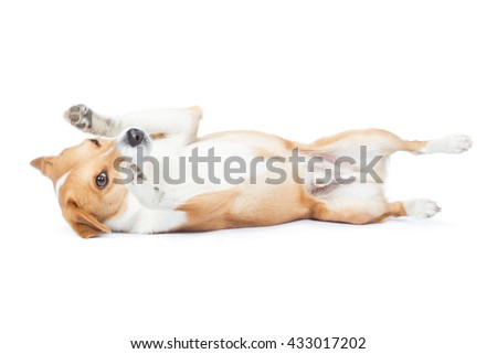 Jack Russell Terrier dog breed dog lying on back results