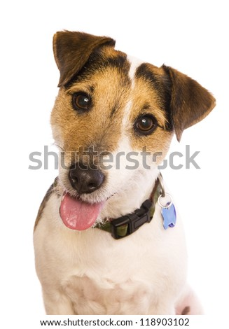 Jack Russell Terrier dog head shot isolated on white - stock photo