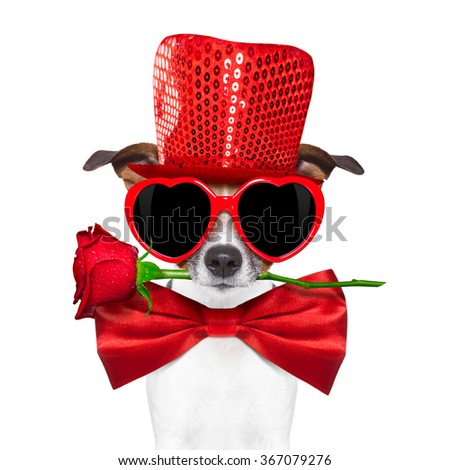 jack russell terrier dog isolated on white with valentines red rose in mouth ,