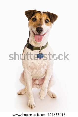 Jack Russell Terrier dog sitting wearing collar and tags isolated on white - stock photo