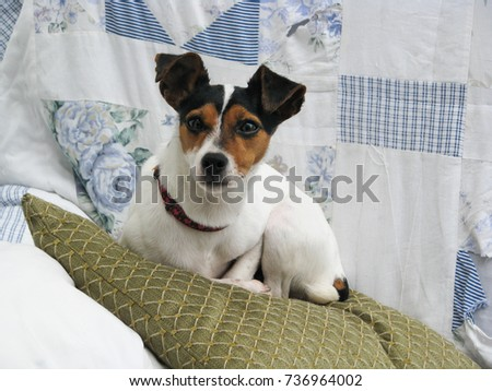 Jack Russell Terrier dog. Small cute dog with large gremlin like ears lying on a cushion in a domestic setting.