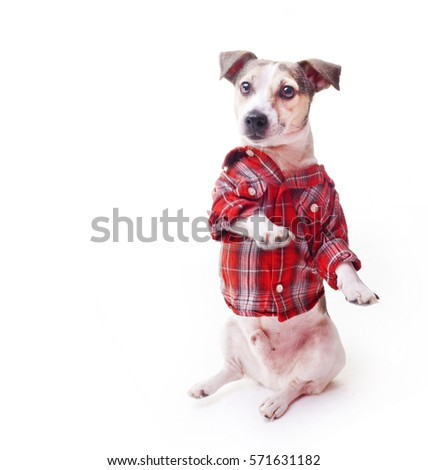 jack russell terrier, dog standing on its hind legs on white background, puppy wearing a red shirt, runs the command, pet dressed in clothes, learn English, tartan, stand like a man