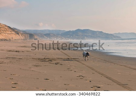 Jack Russell Terrier Dog Tired After Running With Speed After A Car On The Beach - stock photo