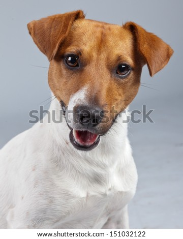 Jack russell terrier dog white with brown spots isolated against grey background. Studio portrait.