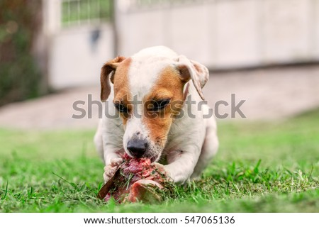 Jack Russell Terrier Female Dog Lying On A Green Lawn Happily Chewing A Large Raw Bone Held Between Its Front Paws