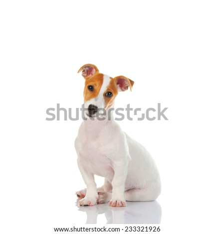 Jack russell terrier. Isolated on white background - stock photo