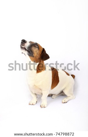 Jack Russell Terrier looking up - stock photo