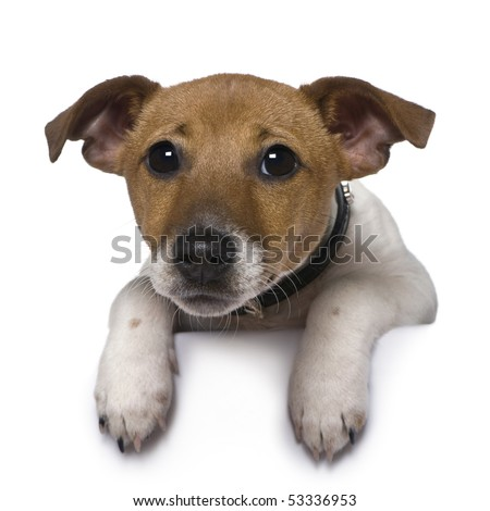 Jack Russell Terrier, 3 months old, in front of white background - stock photo