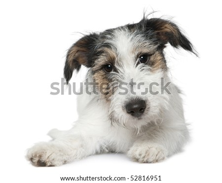 Jack Russell Terrier, 5 months old, lying in front of white background - stock photo