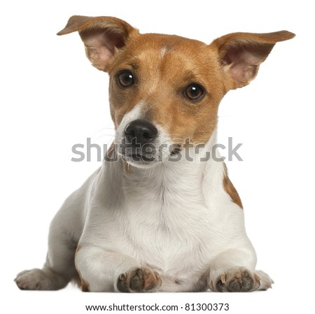 Jack Russell Terrier, 10 months old, lying in front of white background - stock photo