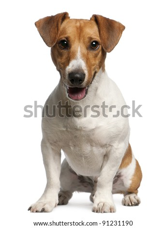 Jack Russell Terrier, 12 months old, sitting in front of white background - stock photo