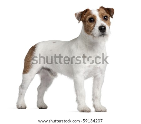 Jack Russell Terrier, 15 months old, standing in front of white background - stock photo