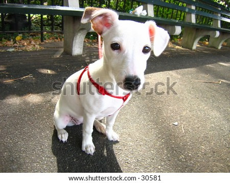 Jack Russell Terrier (2 of 2 Photo) - stock photo
