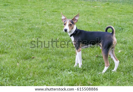 Jack Russell Terrier on a background of green grass.