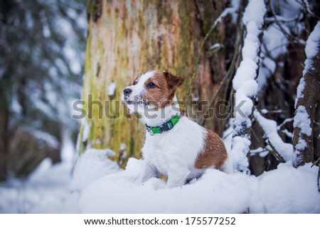 Jack Russell Terrier on nature in winter - stock photo