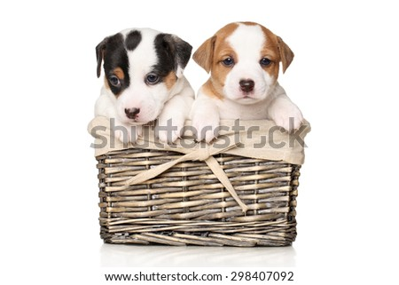 Jack Russell terrier puppies in wicker basket on white background - stock photo