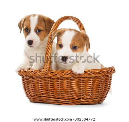 Jack Russell Terrier puppies sitting in a basket. Isolated on white background. - stock photo