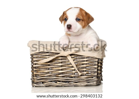 Jack Russell terrier puppy in wicker basket on white background - stock photo