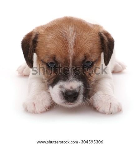 Jack Russell Terrier puppy, 1 months old. Isolated on white - stock photo