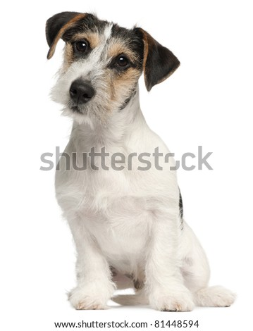 Jack Russell Terrier puppy, 5 months old, sitting in front of white background - stock photo
