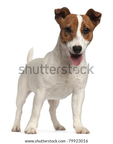 Jack Russell Terrier puppy, 6 months old, standing in front of white background - stock photo