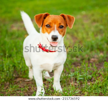 Jack Russell Terrier puppy on grass - stock photo