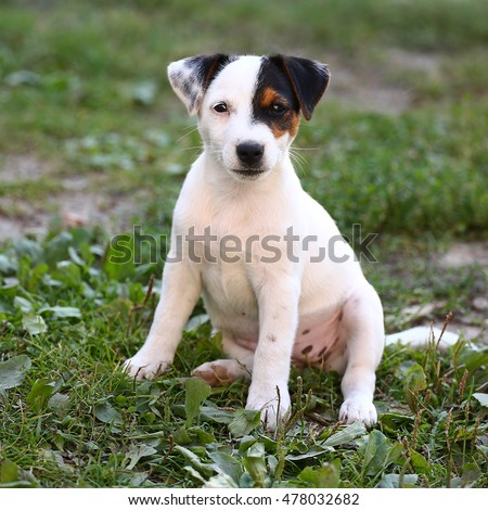 Jack Russell Terrier puppy on grass.