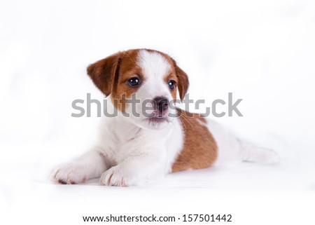 Jack Russell terrier puppy on white