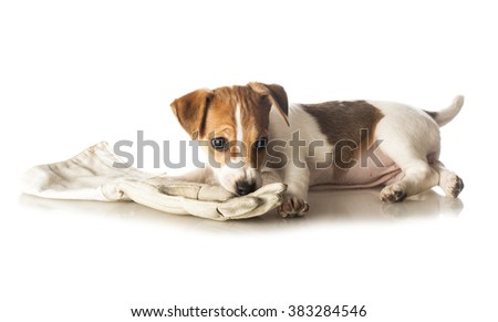 Jack Russell Terrier puppy playing with a glove isolated on white background