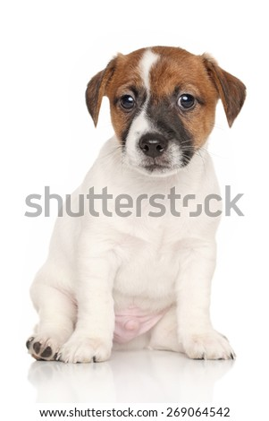 Jack Russell terrier puppy sits in front of white background - stock photo