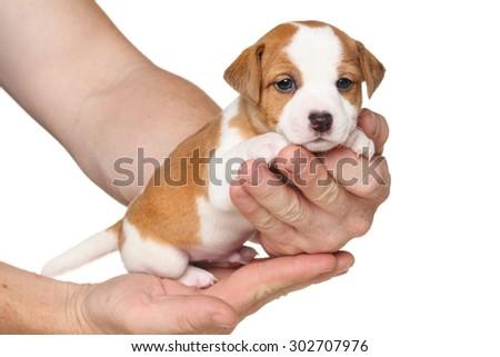 Jack Russell terrier puppy sits on hands in front of white background