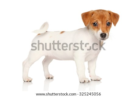 Jack Russell terrier puppy. Studio portrait on a white background - stock photo