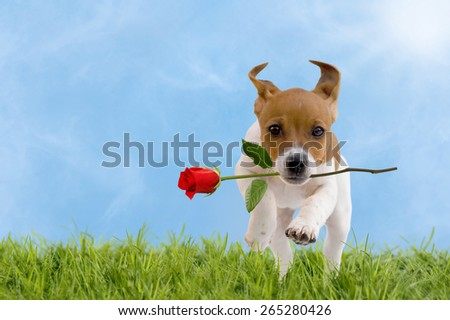 Jack Russell Terrier puppy with red rose jumps over a meadow with blue sky - stock photo