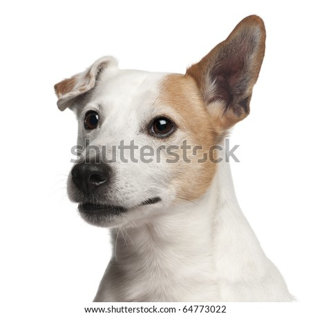 Jack Russell Terrier puppy, 8 years old, in front of white background