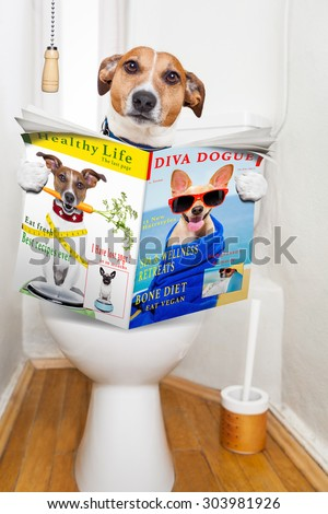 jack russell terrier, sitting on a toilet seat with digestion problems or constipation reading the gossip magazine or newspaper - stock photo
