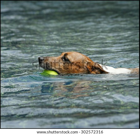 jack russell , terrier , swimming jack, agility dog ,healthy dog,jack with ball - stock photo