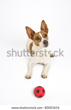 Jack Russell terrier with a red ball isolated on a white background, looking alert and hopeful someone wants to play ball with her.