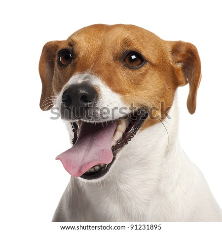 Jack Russell Terrier, 4 years old, close up in front of white background - stock photo